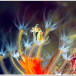 Seahorses: nice backdrops for octocorals