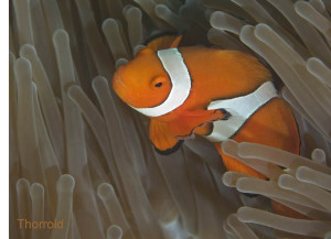 Clownfish <i>Amphiprion percula</i> larvae can disperse > 30 km