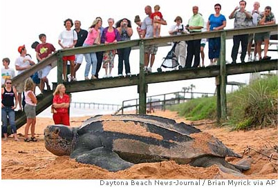 daytona_beach_leatherback