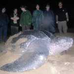 Enormous sea turtle lays 95 eggs after ocean race