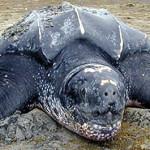 Sea turtle round-up