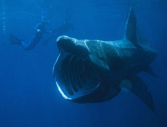 basking_shark_med