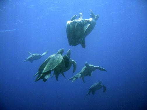 Green turtles mating in Sipadan, Malaysia. Image by Petter Lindgren.