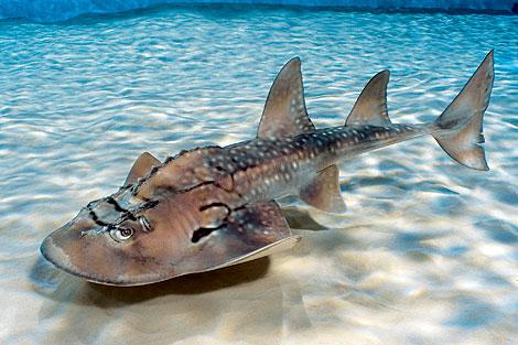 A shark ray at the Newport Aquarium.  Photo courtesy of the Newport Aquarium