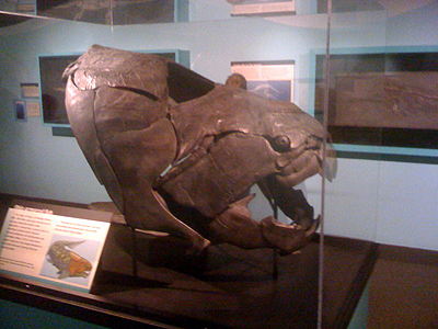 Dunkleosteus skull at the Cincinnati Museum of Natural History