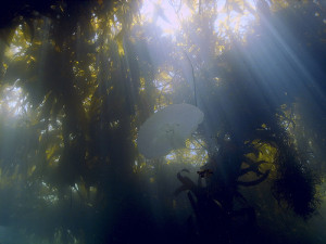 Aurelia sp. medusa in kelp forest