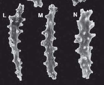 Tentacle sclerites from Gersemia juliepackardae.