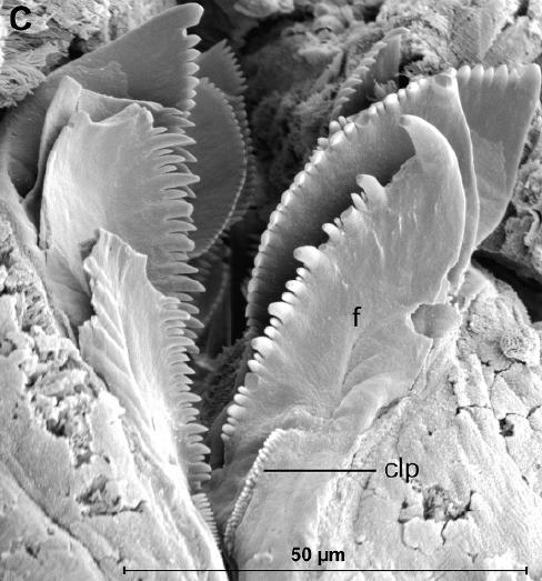 f=forceps, clp=comb-like fused plate