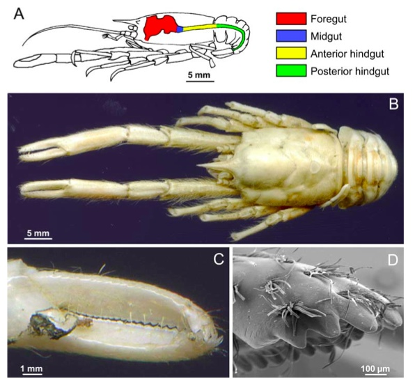 Figure from Hoyoux et al. Munidopsis andama from a woodfall. Note the spoon shaped claw.