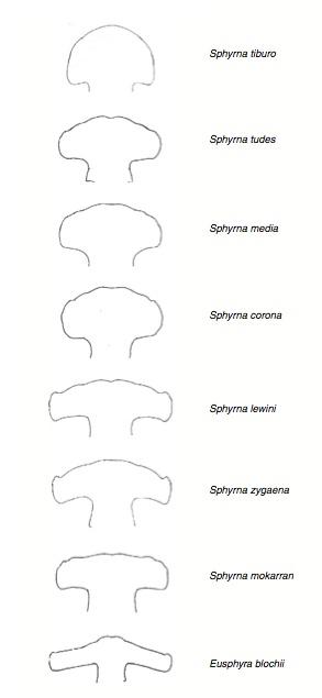 Variation in cephalofoils in hammerhead sharks
