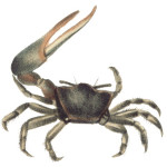 Fiddler Crabs Moult for a Breath of Fresh Air