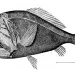 Fanglinktooth