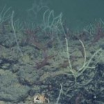 Deep-sea coral reefs discovered in Mediterranean