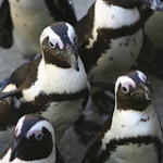 Penguins Immediately Benefit From MPA