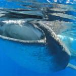 Whale Shark and Manta Ray Gif Roundup