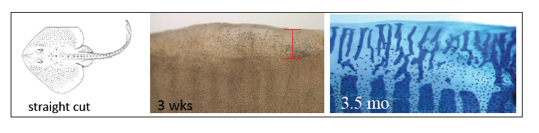Wound healing response in the Little Skate [Photo Credit: Ben King at Mount Desert Island Biological Lab]