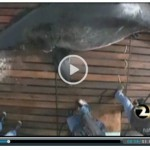 Shark Researcher Seeks New Permit For Controversial Tagging Procedure