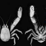Yeti Crab Roundup
