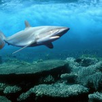 Red sea sharks at risk from political upheaval, but to what degree?