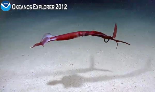 Elegant deep sea squid