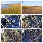 Gulf oil spill suffocated marsh grasses, enhanced erosion