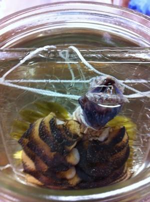euglasia jaws