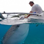 Whale shark ecotourism: the good, the bad and the ugly