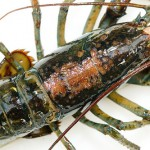 The mystery of lobster shell disease