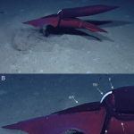 Penetrating the mysteries of sex in deep-sea squid