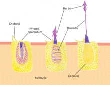 How the nematocysts discharge. Source Biobook