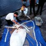 23 Species Giant Squid or Just 1