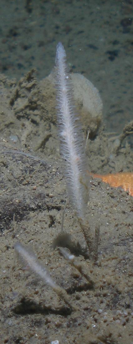 Asbestopluma bihamatifera