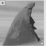 mystery goo on bottle nosed dolphins [1]