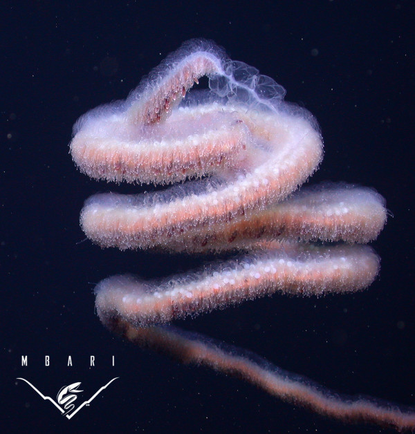 A colony of Apolemia lanosa. The photograph was taken from MBARI ROV Tiburon at a depth of 1150 meter. Image: Monterey Bay Aquarium Research Institute.