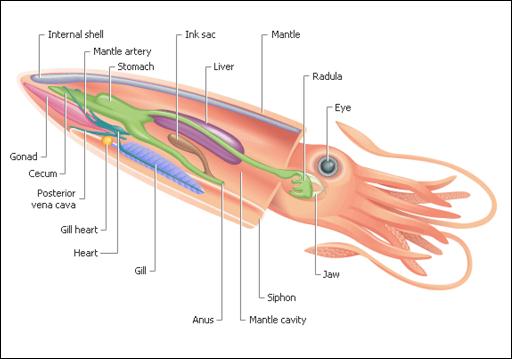 internal-anatomy-of-a-squid