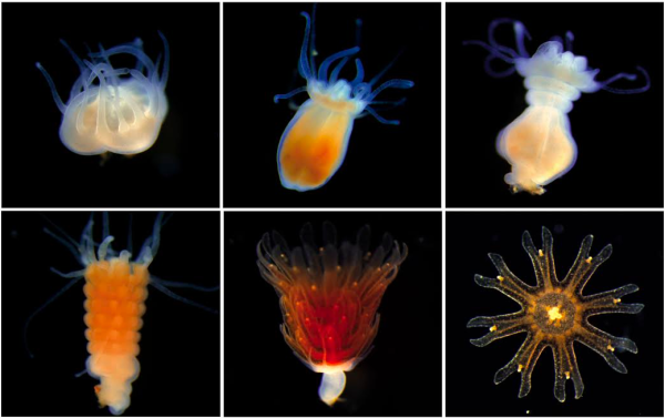 A polyp makes jellyfish