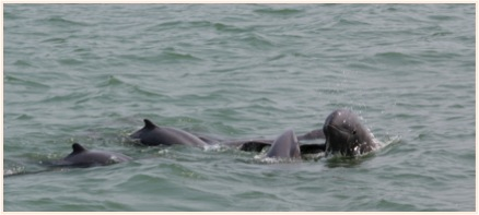 Irrawaddy dolphins Source: T.Whitty