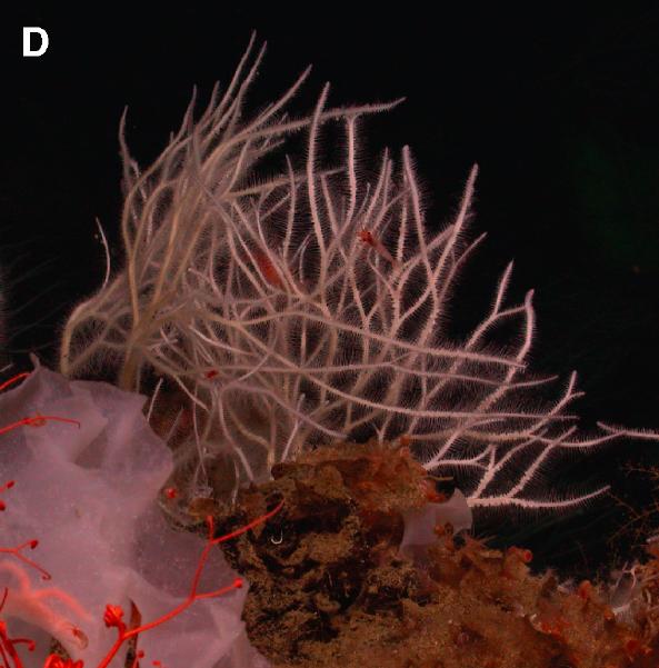 Abestopluma monticola from Lunsten et al. 2014