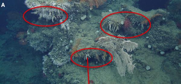 Cladorhiza cailettie from Lundsten et al. 2014