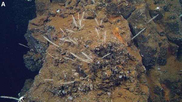 Cladorhiza evae from Lunsten et al. 2014