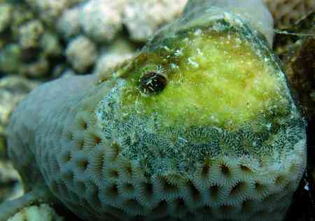 Coral with skeletal band eroding disease.