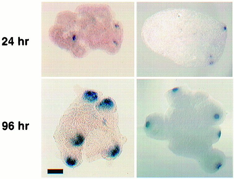 """Hydra cell aggregates after 24 hours (top) show gene expression for new organizing centers, and 96 hours later have more clearly defined bodies. The blue marks cells that are producing molecules to mark the """"head""""."""