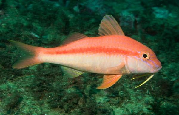 Goatfish: The Reason for the Season.