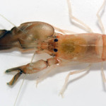These are a Few of My Favorite Species: Pistol Shrimp