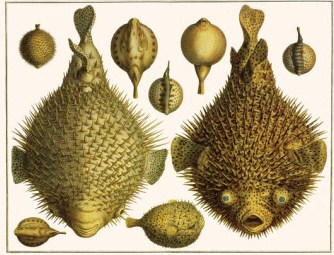 The Spotted Porcupine Fish, as illustrated by Albertus Seba, 1731.