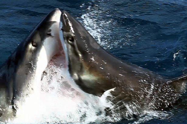 Gilbert-the-shark