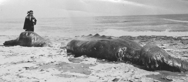 An earlier and less celebrated Baird's Beaked Whale carcass washed ashore in Santa Cruz in 1920.  Note the similar head on the left.  Photo by Andrew P. Hill Jr., via Calisphere.