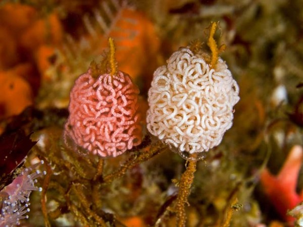 Eggs ribbons of the gaseflame nudibranch.  Holy @#$! even these are beautiful.