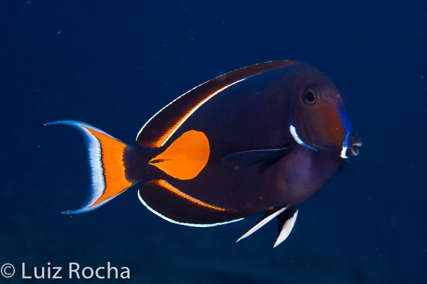 The orange, white and black Achilles Tang (Acanthurus achilles).