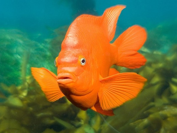 The Garibaldi (Hypsypops rubicundus) is the official state marine fish of California and sports the Giants orange. Photo credit: Peter Liu, flickr.
